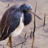 Tri-colored Heron at S. Padre Island
