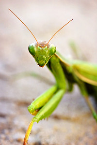 Praying Mantis, Insect, but, green
