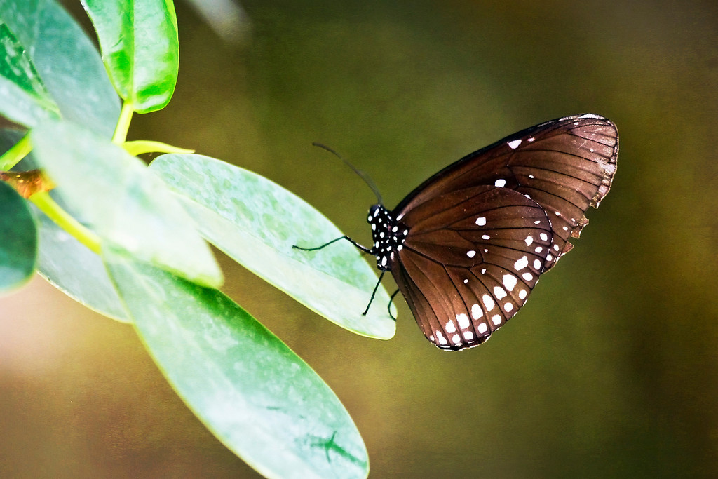 Black and Brown Spotted Butterfly