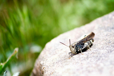 Grasshoper on Rock