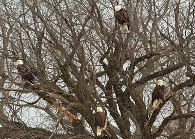 Eagles in a Tree along the Mississippi