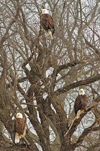 Three Eagles in A Tree