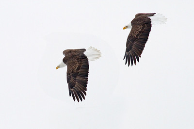 Two Eagles in Flight