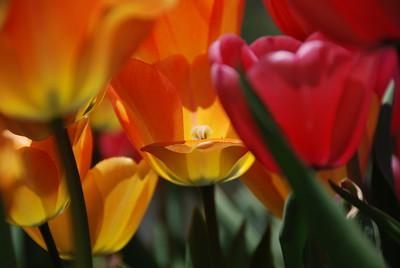 Tulips, Niagara Falls, Ontario