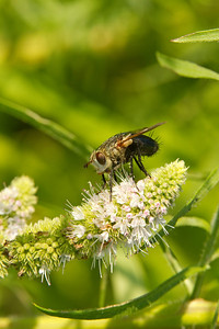 Tachinid Fly on Flower