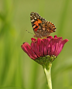 Painted lady butterfly in flower