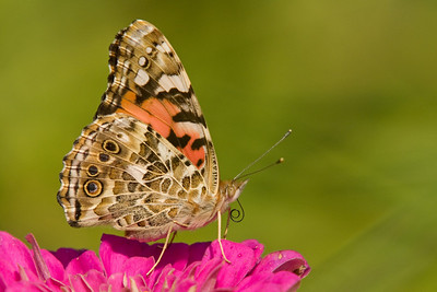Painted Lady Butterfly on Pink Flower