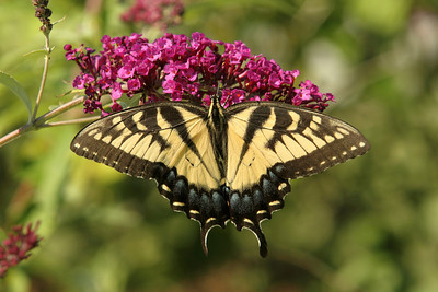 Swallowtail Butterly