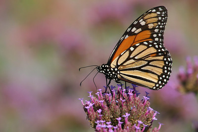 Monarch butterfly with purple background