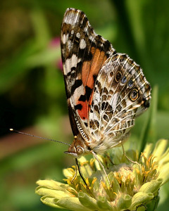A Painted Lady Buterfly