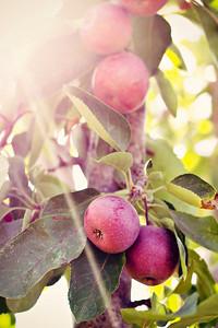 Sunlit Apple Tree