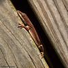 A backyard lizard