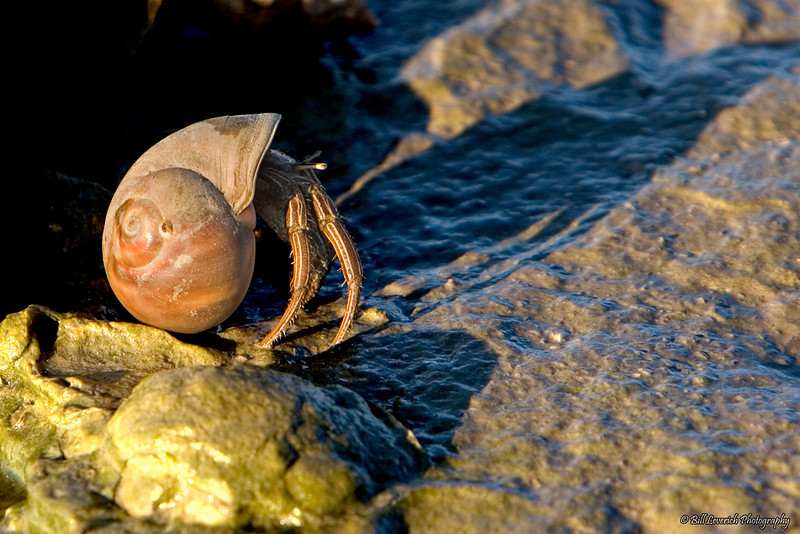 A hermit crab emerging from its empty seashell