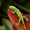A backyard lizard on a photinia  leaf