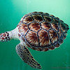 Injured Kemp's Ridley turtle