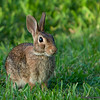 Backyard rabbit