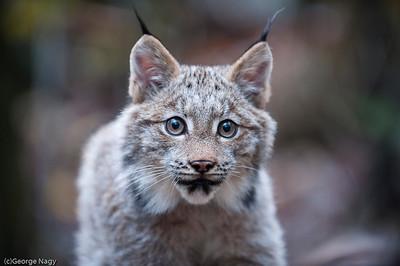 Baby Lynx