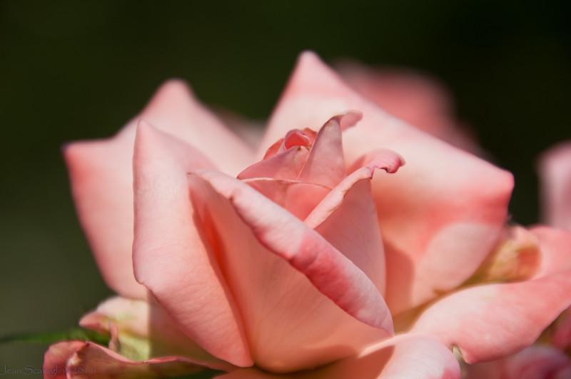 Roses of Summer Raleigh Rose Garden