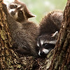 Baby 'coons
