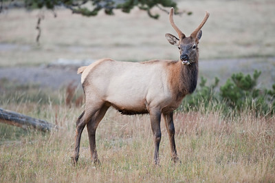 Elk in Yellowstone Madison