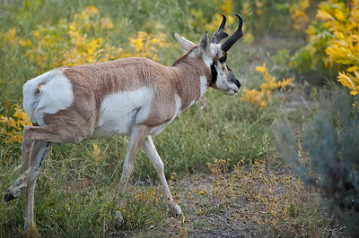 Pronghorn (Antelope), Yellowstone, Between North Entrance & Mammoth