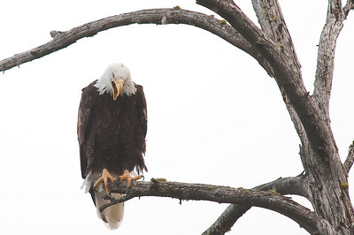 Bald Eagle, Grand Teton, Jenny Lake