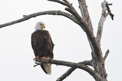 Bald Eagle, Grand Teton, Jenny Lake