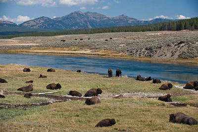 American Bison, Yellowstone, Hayden Valley, Yellowstone River