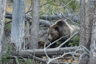 Grizzly Bear, Wildlife, Yellowstone (below mount washburn)