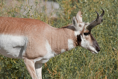 Pronghorn (Antelope), Yellowstone, North Entrance