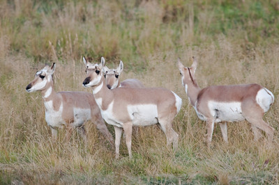 Pronghorn (Antelope), Yellowstone, Lamar Valley