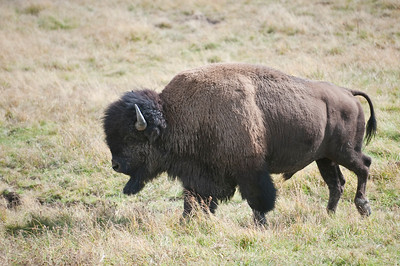 American Bison, Yellowstone, Hayden Valley