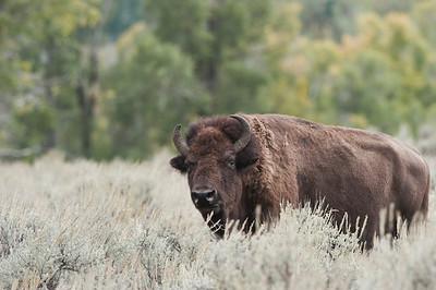 American Bison, Grand Teton, Antelope Flats