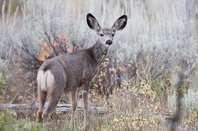 Mule Deer, Grand Teton, Colter Bay