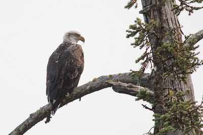 Juvenile Bald Eagle, Grand Teton, Jenny Lake