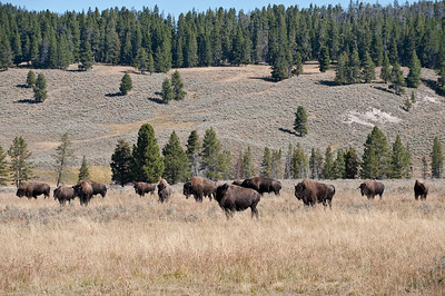 American Bison, Wildlife, Yellowstone, Hayden Valley