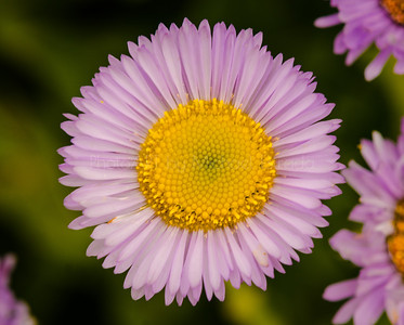 Littlle Purple Daisy