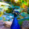 Peacock #5