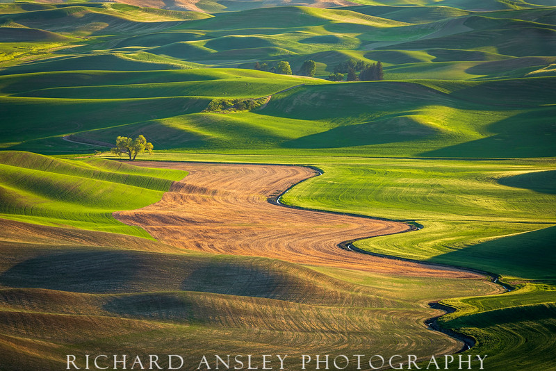 Lonely Cottonwood-Palouse, Washington