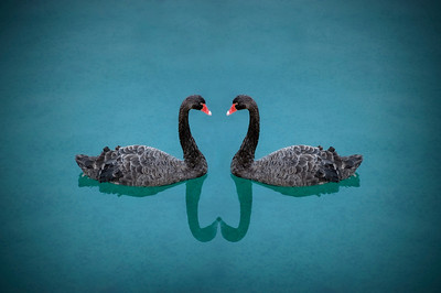 Lovely swans.