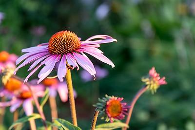 July Blossom