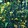 Yellow Flowers at Medina River #2