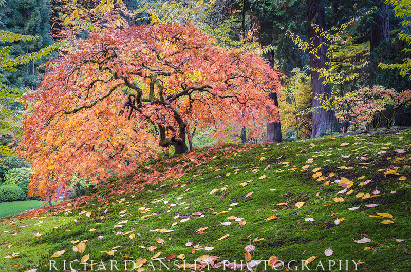 Maple Ablaze-Japanese Gardens, Oregon