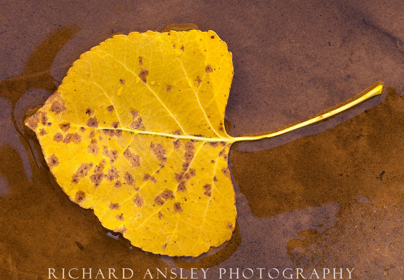 Aspen Leaf on Water-Zion NP, Utah