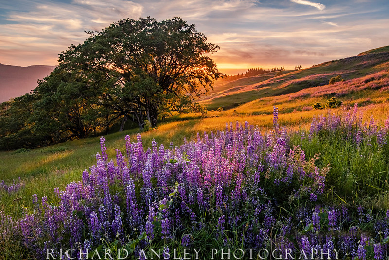 Lupine Sunset-Northern California