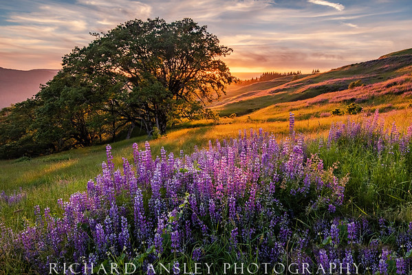 Lupine Sunset-Redwoods Park, CA (Limited Edition of 250)