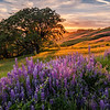 Lupine Sunset-Redwoods Park, CA