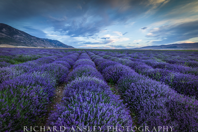 Lavender Field, Utah