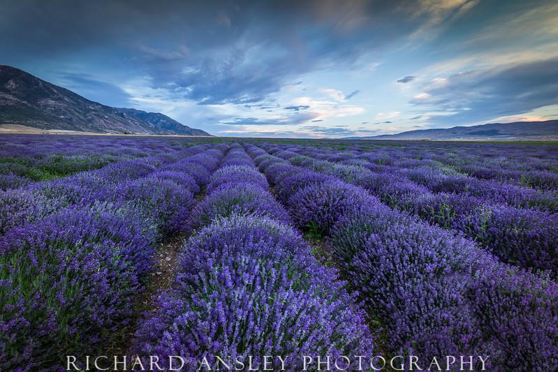 Lavender Fields-Mona, Utah