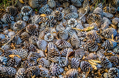 A Bed of Pine Cones